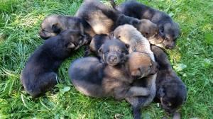 Puppies2wks